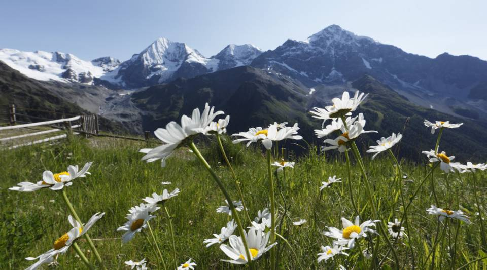 Blumen mit Panoramablick in Sulden am Ortler